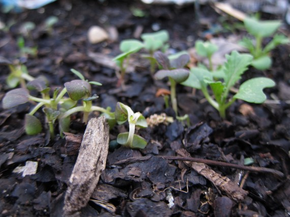 The mustard seedlings are curled the same way as the dandelion stems.
